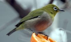 oiseau à lunettes, zopterix japonicus